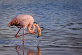 pic of pink flamingos  - Closeup portrait of beautiful pink flamingo an its reflection in the Galapagos Islands - JPG