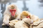 stock photo of macaque  - Snow Monkeys Japanese Macaques bathe in onsen hot springs of Nagano - JPG