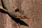 picture of monitor lizard  - Malaysia - JPG