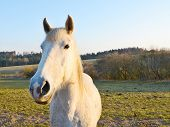 pic of  horse  - Wide angle shot of the beautiful white horse during sunset. Horse is standing in a pasture. Behind the horse is forest and bushes.