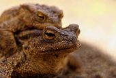 picture of copulation  - Polandspring.Moving close the head of the copulating female the common toad.In the background male sitting on the female.