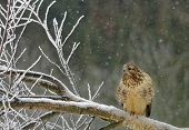 image of buzzard  - Poland in winter.Common buzzard on the felled tree and snowflakes falling down.