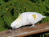 stock photo of cockatoos  - The Sulphur-crested Cockatoo (Cacatua galerita)