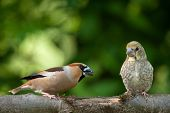foto of she-male  - Poland in June.Female hawfinch from young.She is teaching him how to get food. ** Note: Visible grain at 100%, best at smaller sizes - JPG