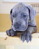 stock photo of great dane  - Great Dane puppy looking sad in its wood crate - JPG