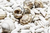 stock photo of snail-shell  - Snail shells on spiral cockleshells background in horizontal format - JPG