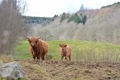 picture of calf cow  - A Highland Cow and her calf standing looking towards the viewer - JPG