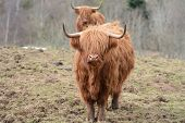 foto of highland-cattle  - Two Highland Cows forming a queue - JPG