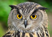 foto of pecker  - Portrait of a Eagle Owl - JPG