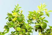 stock photo of orange-tree  - Green unripe Orange fruit on a branch - JPG