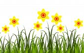 picture of daffodils  - seamless vector border with daffodils in grass isolated on white background - JPG