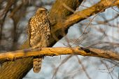 stock photo of goshawk  - Juvenile Northern Goshawk perched on a branch at the end of the day. ** Note: Soft Focus at 100%, best at smaller sizes - JPG
