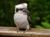 pic of kookaburra  - The Laughing Kookaburra  - JPG