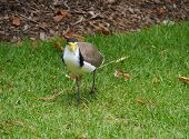 picture of mask  - Masked Lapwing  - JPG
