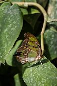 stock photo of malachite  - Malachite Butterfly sitting on leaf with wings closed