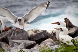 stock photo of boobies  - Two masked boobies on a rock and a swallow tailed gull taking off in the Galapagos Islands - JPG
