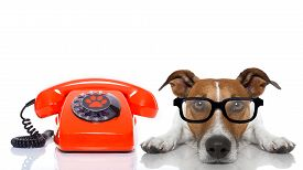 picture of secretary  - jack russell dog with glasses as secretary or operator with red old dial telephone or retro classic phone - JPG