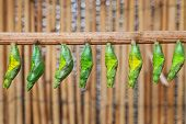 stock photo of chrysalis  - the raw of chrysalis befor butterfly amagring - JPG