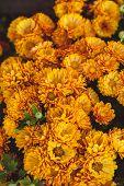 foto of chrysanthemum  - Orange chrysanthemum flowers close up on the bush - JPG