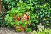 picture of strawberry plant  - Strawberry plant in a terracotta pot on a garden bench - JPG