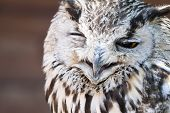 picture of eagles  - Portrait of The Eurasian Eagle Owl  - JPG