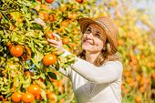 foto of mandarin orange  - Smiling caucasian girl in white tshort and hat harvesting mandarins and oranges in organic farm - JPG