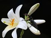 stock photo of polly  - Stag Beetle and Lily flora botanical plant  - JPG