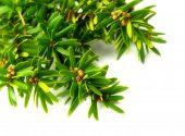 image of nana  - Taxus cuspidata  - JPG