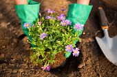 Cropped image of female gardener planting potted plant in dirt at garden poster