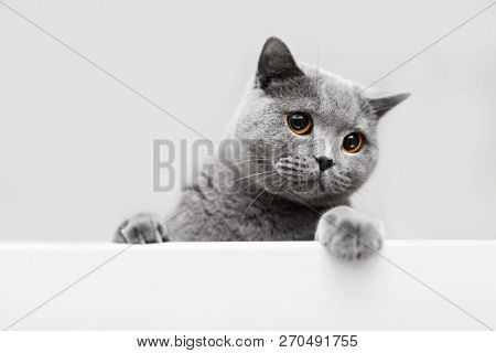 poster of Playful grey cat leaning out. British shorthair cat. Purebred domestic animal.