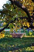 Rope Woven Basket Hanging On A Tree Branch With Yellow Leaves. Beautiful Wicker Basket At Autumn Tre poster