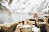 animals, nature and wildlife concept - japanese macaques or snow monkeys in hot spring of jigokudani poster
