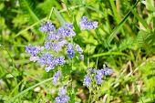 Wildflower Pansy Soft Softness Tender Tricolor Viola poster