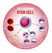 Self-renewing Stem Cell. Blood Cells Types. Editable Vector Illustration Isolated On White Backgroun poster