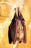 foto of rabies  - bat - JPG