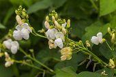 Flowers Of Green Bean On A Bush. Beans Growing On The Field. Plants Of Flowering Beans. Snap Beans S poster