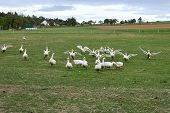 Geese In Nature. Domestic Geese Graze In The Meadow. Poultry Walk On The Grass. Domestic Geese Are W poster