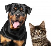 Cat And Dog. Portrait Of Strong Rottweiler And Maine-coon Kitten On White Background. poster