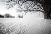 Big oak tree  in a winter snowy field