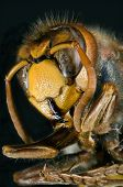 stock photo of hornets  - Ultra Macro of European Hornet - JPG