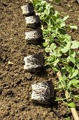 pic of mange-toute  - Young mangetout vegetable plants ready for planting - JPG