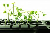 stock photo of snow peas  - Close Up of Computer Keyboard with Snow Pea Sprouts - JPG
