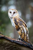 picture of snowy owl  - A Barn Owl poses for the camera at the Carolina Raptor Center - JPG