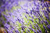 image of lavender field  - Provence typical lavender landscape - JPG