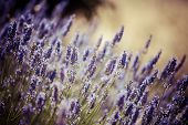 picture of lavender field  - Provence typical lavender landscape - JPG