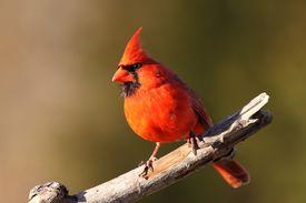 stock photo of cardinal-bird  - Bright red male Cardinal posing on tree limb - JPG