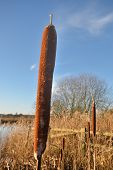 image of bull rushes  - bulrush in winter with blue sky in close up - JPG