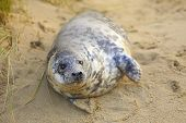A grey seal pup on Horsey Beach, Norfolk, England, where a breeding colony has become established ov