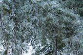 image of freezing temperatures  - Icicles coated leaves - JPG
