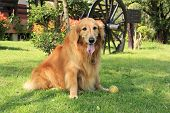 Golden Retriever Sitting